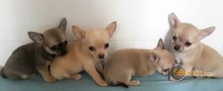 la petite annonce superbes chiots chihuahua pure race poils courtstaille stand sur Sibesoin.com / aast (64460)