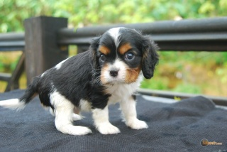 la petite annonce Chiot cavalier king charles spaniel  sur Sibesoin.com / lille (59000)