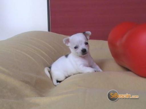 Sibesoin Com Petites Annonces Gratuites Partout En France Chiot Chihuahua Femelle A Donner 1 00