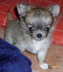 la petite annonce chiot femelle type chihuahua poil long non lof sur Sibesoin.com / aast (64460)