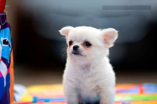 Sibesoin.com petite annonce gratuite A donner chiot chihuahua femelle