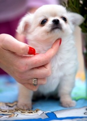 Sibesoin.com petite annonce gratuite 2 A donner chiot chihuahua femelle