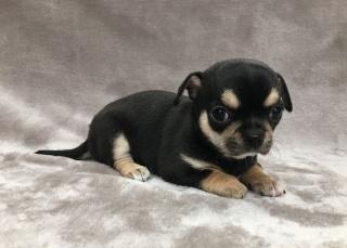 Petites Annonces Gratuites Partout En France Chihuahua